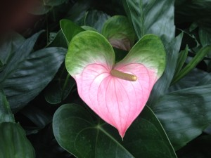 Close up of Heart flower at Longwood Gardens